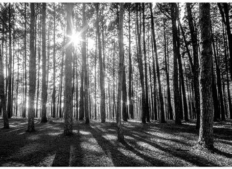 Fototapete Wald Schwarz Weiß by Fototapete Baum Wald Natur Licht Schatten B 228 Ume Kiefer