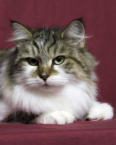 Cat Breeders by Miakoschka Siberian Cats Cattery Siberian Cat Breeder