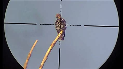 air rifle hunting starling pest control part  youtube
