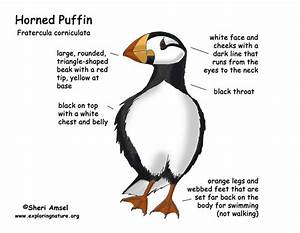 Puffin  Horned