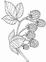 Coloring Pages Raspberries Berries Printable Template Recommended sketch template