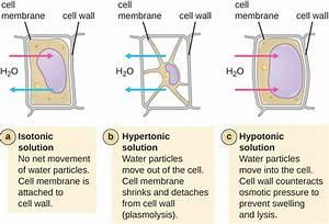 Diagram Of Plasmolysis