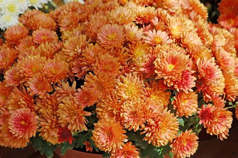 orange mums belgian mums offer incredible performance mississippi state university extension service