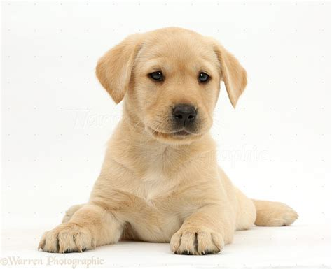 image cute yellow lab puppies pc android iphone