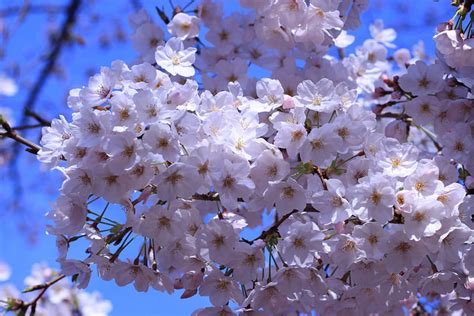 japanese for flower 10 beautiful japanese flowers and their meanings tsunagu japan