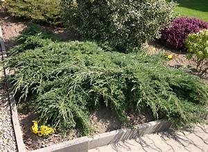 Langsam Wachsende Hecke : blauer kriech wacholder 39 blue carpet 39 juniperus squamata ~ Michelbontemps.com Haus und Dekorationen