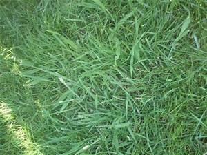 Quecke Im Rasen : quecken im rasen ble erscheinung im rasen garten pflanzen ~ Lizthompson.info Haus und Dekorationen