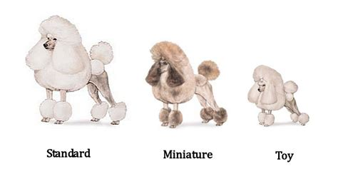 toy poodle haircuts group picture image tag