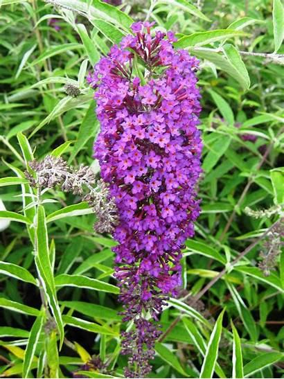 Purple Nanho Buddleja Plantenweelde