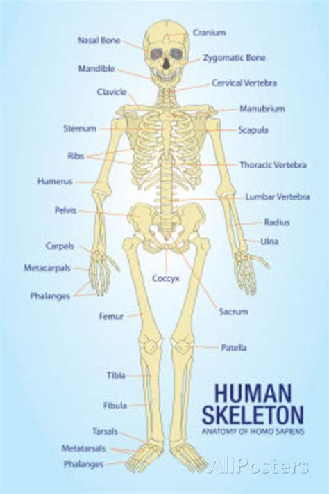The smallest bone in the human body is called the stirrup bone, located deep inside the ear. Human Skeleton Anatomy Anatomical Chart Poster Print Poster Print, 13x19   eBay
