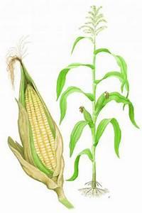 Maize Diagram