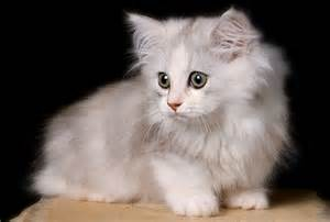 cat breed cat in the world top 20 most beautiful cat breeds in world