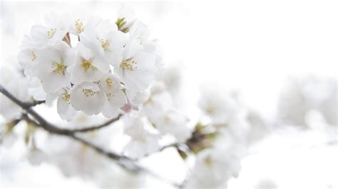 white flowers wallpapers images  pictures backgrounds