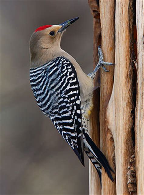 bird species arizona woodpecker