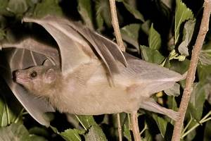 1000+ images about Egyptian Fruit bat on Pinterest | Bats ...