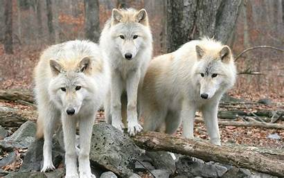 Timber Wolf Wallpapers Wolves Pack Wolfs Gray