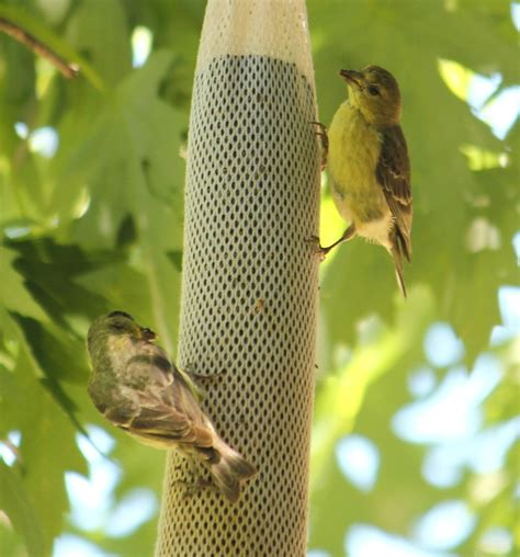 Male and Female Lesser Goldfinch