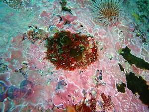 File:Crustose coralline and other small algae at Castle ...