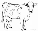Cow Coloring Pages Printable Cool2bkids sketch template