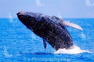 クジラ:クジラ 大日本絵画 最安値価格: 手塚九日のブログ
