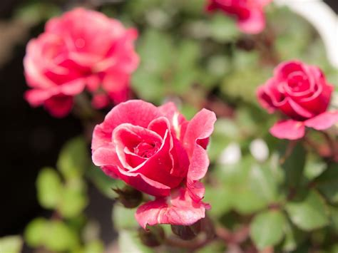 kordana miniature rose care  growing instructions