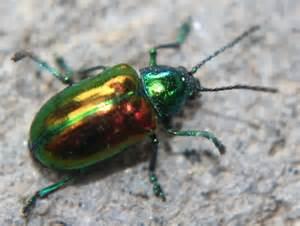 Iridescent Beetle - Chrysochus auratus - BugGuide.Net