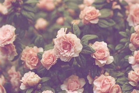 photography pretty flowers pink nature roses plants taste