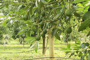 Avocado Pflanze Pflege : hass avocado trees for sale fast growing trees ~ Lizthompson.info Haus und Dekorationen