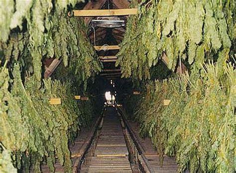 harvesting outdoor marijuana plants marijuana news magazine