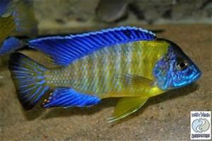 Aulonocara Stuartgranti Blue Neon Undu Reef for sale