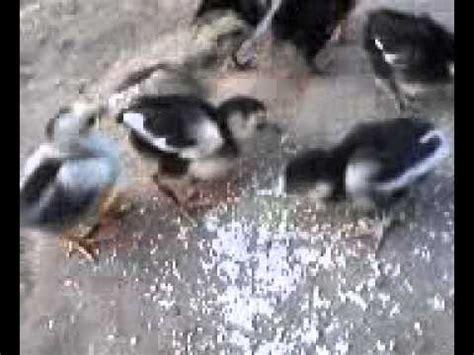 anak anak ayam lucu berumur  hari  makan youtube