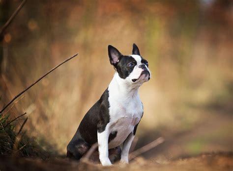 boston terrier im rasseportrait zooroyal magazin