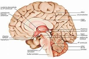 Du Coup Synonyme : encyclop die larousse en ligne cerveau latin cerebellum diminutif de cerebrum cerveau ~ Medecine-chirurgie-esthetiques.com Avis de Voitures