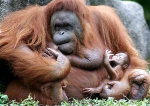 Cute baby orangutan; Image ONLY