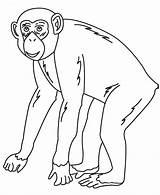 Chimpanzee sketch template