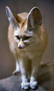 Download wallpaper 1080x1920 fenech fox, fox, cute, animal ...