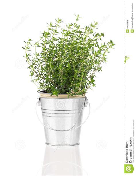 pianta dell erba timo che cresce in un vaso afflitto