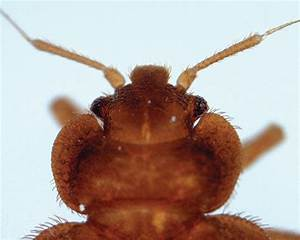 bed bugs a tale of two species pest management professional With common bed bugs