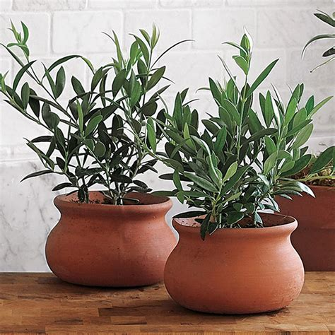 cuisine hardy 1 x 39 olea europea 39 common olive tree evergreen growing