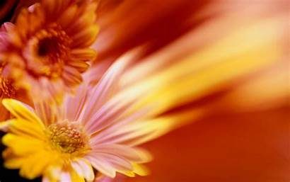 Daisy Flower Heads Common Wallpapers Orange Collections