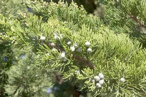 juniper plant plant profile hollywood juniper juniperus chinensis torulosa mid atlantic gardening