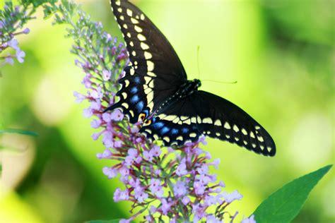 Eastern Black Swallowtail Caterpillar Grateful Prayer