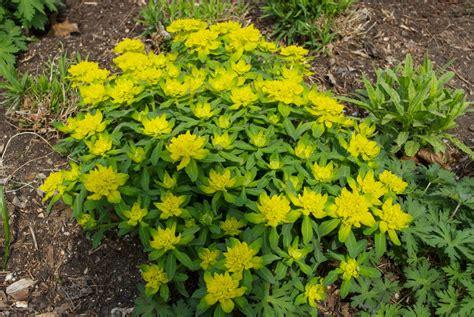 euphorbia plant varieties top 28 euphorbia species images euphorbia nutans eyebane sandmat go botany euphorbia