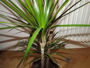 Drachenbaum Schneiden Video : drachenbaum als zimmerpflanze und pflege ~ Watch28wear.com Haus und Dekorationen