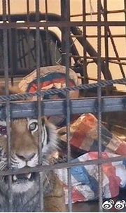 Missing leopard in China feared dead as Siberian tiger ...
