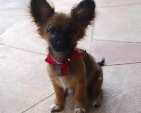 Dogs That Dont Shed Papillon by Small Breeds That Dont Shed Newhairstylesformen2014