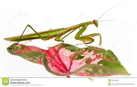 Praying Mantis On White Stock Photos - Image: 12210043