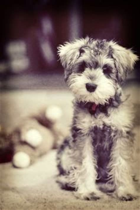 female miniature schnauzer haircuts styles picture