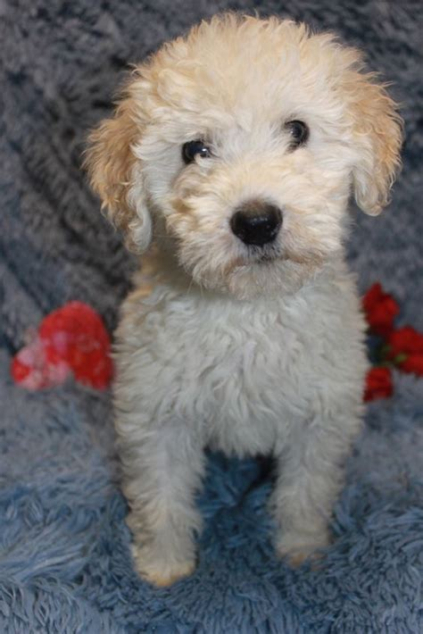 wheaten terrier mix shedding whoodle wheaten poodle mix www diamonddoodles