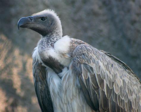 search   maltese falcon  white backed vulture